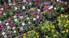 Grande variedade de cores. Flores a venda no Ceagesp. O Entreposto da capital também abriga a maior variedade de plantas do país, na Feira de Flores e Plantas. Foto: Marcos Santos / USP Imagens