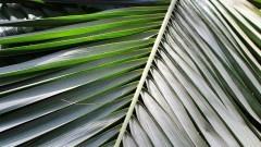 Detalhe de folhas de uma palmeira cortada. Foto: Marcos Santos/USP Imagens