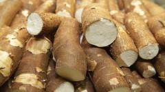 Mandioca é o nome de diversas variedades de raízes comestíveis. Foto: Marcos Santos/USP Imagens