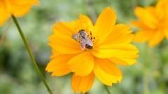 Detalhe de flor amarela com abelha na horta comunitária experimental das corujas, localizada em praça pública no meio da cidade de São Paulo. Foto: Marcos Santos/USP Imagens
