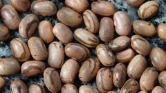 Grãos de feijão carioquinha. Foto: Marcos Santos/USP Imagens