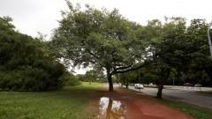 Árvore na Praça do Relógio próximo a Avenida Professor Mello Moraes. Foto: Marcos Santos/USP Imagens