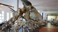Exemplares de esqueletos de diversos animais estão em exibição no Museu de Anatomia Veterinária da Faculdade de Medicina Veterinária e Zootecnia da Universidade de São Paulo (FMVZ - USP). Foto: Marcos Santos.