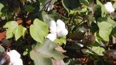 Plantação de algodão. Foto: Marcos Santos/USP Imagens