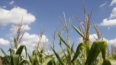 Plantação de milho na ESALQ. Foto: Marcos Santos/USP Imagens