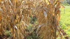 Plantação de milho. Foto: Marcos Santos/USP Imagens