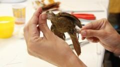 Taxidermista trabalhando na conservação de pássaros