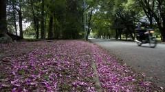 Pétalas de flores na Avenida Professor Mello Moraes. Foto: Marcos Santos/USP Imagens