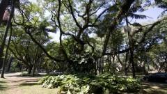 Árvore na Avenida da Universidade. Foto: Marcos Santos/USP Imagens
