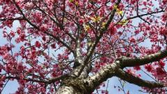 Cerejeiras plantadas perto da Casa de Cultura Japonesa. Foto: Marcos Santos/USP Imagens