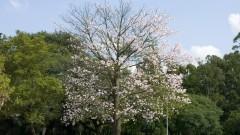 Árvores da cidade Universitária. Foto: Cecilia Bastos/Jornal da USP