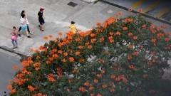 Detalhe da copa de uma árvore com flores na cidade de São Paulo. Foto: Cecília Bastos/Jornal da USP