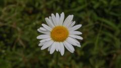 Especie flor de jardim, margarida. foto Cecília Bastos