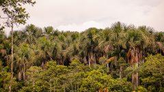 Arvore Buriti na floresta Amazonica. Foto: Cecília Bastos/USP Imagem
