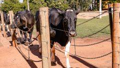 Gado de leite no campus de Pirassununga. Foto: Cecília Bastos/USP Imagem