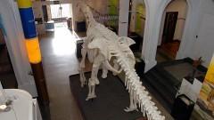 Exposição Cabeça de Dinossauro (Tapuiasaurus Macedo). Foto Francisco Emolo / Jornal da USP