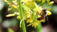 Abelha sobre flores. Foto: George Campos/ USP Imagens