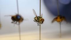 Moscas coletadas para experimento de entomologia forense. Foto Cecília Bastos/Usp Imagens