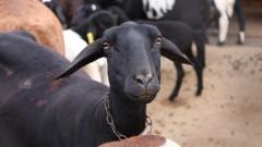 Ovelhas – Faculdade de Zootecnia e Engenharia de Alimentos