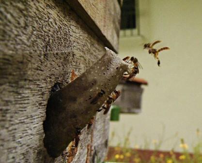 Criação de abelhas. Foto: Marcos Santos / USP Imagens