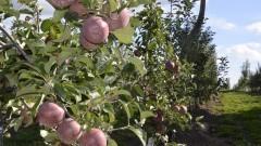 Cultivo de maçãs. Frutas no pé de maçã. - Foto: Pedro Bolle / USP Imagens