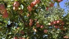 Pomar de maçãs com as árvores carregadas de fruta - Foto: Pedro Bolle / USP Imagens