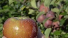Maçã com macieiras ao fundo - Foto: Pedro Bolle / USP Imagens