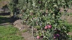 Cultivo de maçãs - Foto: Pedro Bolle / USP Imagens