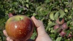 Cultivo de maçã - Foto: Pedro Bolle / USP Imagens