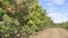 Pomar de maçãs - Foto: Pedro Bolle / USP Imagens