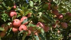 Maçãs na macieira - Foto: Pedro Bolle / USP Imagens